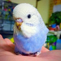 The budgerigar, also known as the common parakeet or shell parakeet and usually informally nicknamed the budgie, is a small, long-tailed, seed-eating parrot. Funny Birds, Cute Birds, Pretty Birds, Beautiful Birds, Animals Beautiful, Budgie Parakeet, Budgies, Parrots, Cockatiel