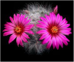 https://flic.kr/p/bUKgGs | CAC75 | Mammillaria guelzowiana