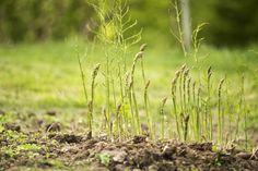 How to Plant Asparagus - http://modernfarmer.com/2015/04/how-to-plant-asparagus/?utm_source=PN&utm_medium=Pinterest&utm_campaign=SNAP%2Bfrom%2BModern+Farmer