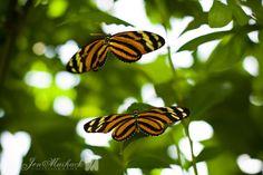 Jen Maihack Photography · Butterfly Rainforest Part 1 Butterfly, Awesome, Photography, Animals, Photograph, Animales, Animaux, Fotografie, Photoshoot