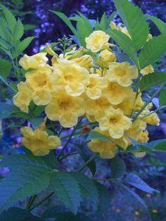 My esperanza (yellow bells) flowers
