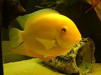 Golden Severums, approx 1-3 inch, only £2.50 each - Southport
