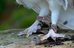 Image result for barn owl feet and talons