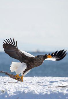 Tour leader David recently spotted this Steller's sea eagle in Steller's Sea Eagle, Eagles, Bald Eagle, Tattoo Ideas, David, Birds, Japan, Hokkaido, Eagle
