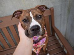 IRENE - A1122863 - - Brooklyn  TO BE DESTROYED 09/07/17 A staff member writes: Irene is a sweetheart! She was a bit nervous when she first came into the care center, but she has blossomed into a calm, relaxed, and super friendly girl! She's very social and tolerant one-on-one, and she enjoys spending time with people as well as another calm dog. Come meet this very laid back and charming girl at Brooklyn ACC today!  -  Click for info & Current Status: http://nycdogs