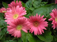 Gerber Daisies on My Patio...left from a previous year and survived in garage with windows over last winter.