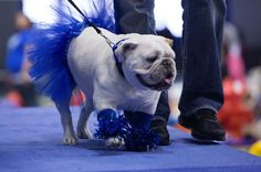 This bulldog is showing off her Drake pride.