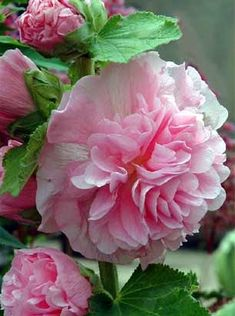 Hollyhock Alcea rosea double pink