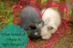 Which breed of Angora rabbit is the right fit for you and your family?