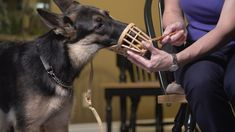 Conditioning a dog to be comfortable wearing a muzzle is an important life skill. A dog that is comfortable wearing a basket muzzle can allow for less restra. Pug Wallpaper, Dog Forum, Foster Dog, Toy Basket, Wrought Iron Doors, Fun Events, German Shepherd Dogs, Life Skills, Pugs