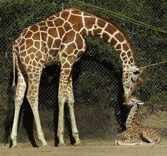 Giraffe baby Maggie at Oakland Zoo