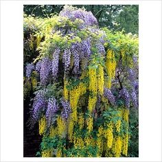 Laburnum and wisteria