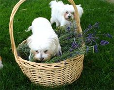 Flea control needs to be done in the home and yard if you want to get rid of fleas. Do this in a safe natural way.