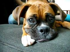 Boxers on Pool Cover Playing! (Brock the Boxer) - YouTube