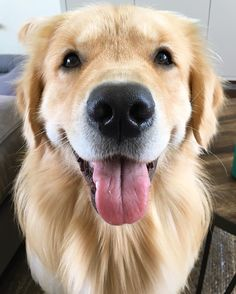 See this Instagram photo by @porter_the_golden