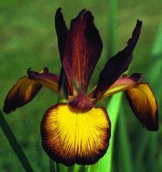 Comanche Acres Iris Gardens - Gower, MO - Chocolate Fudge Spuria Iris