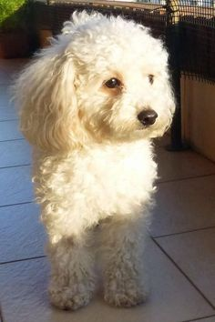 Camila the Toy Poodle