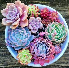 ideas for succulent gift ideas cactus Rainbow Succulent, Pink Succulent, Succulent Gifts, Colorful Succulents, Succulent Bouquet, Succulent Arrangements, Cacti And Succulents, Planting Succulents, Succulent Wall