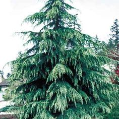 A splendidly hardy and adaptable selection of the Deodar Cedar, 'Karl Fuchs' delights with brilliant blue foliage in spring, gradually maturing to aquamarine on a very slender, elegantly layered habit. If you are looking for an arresting, low maintenance specimen tree, this cold-hardy, drought-tolerant, deer-resistant cultivar is an excellent candidate!Grown in the 1970's from seeds originally gathered in the mountains near Kabul, Afghanistan, 'Karl Fuchs' immediately gained attention for…