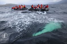 You can't get any closer to a whale than this! Cap Horn, Les Fjords, Whale Watching Tours, Le Cap, Argentine, Humpback Whale, Habitats, Closer, Journey