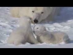 POLAR BEAR CUBS CLING FOR LIFE. One of the cuttest video you will ever see !