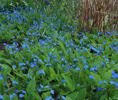 Ormöga –Omphalodes verna, intensiv förgätmigejliknande blå blom i april/maj. Blir 15-20 cm hög. Tät. Gillar ej att stå i sol eller torrt. Sprider sig med krypande jordstammar. Används med fördel i stora fält, under buskar, barr och träd.  Bild från gardener.blogg.se –Slottsträdgårdsmästaren -