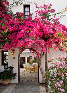 Bougainvillea, comes in a variety of colors, abundant flowers in the summertime, when grown it needs moderate watering and regular cutting back in the springtime. A statement plant, huge splash of color!
