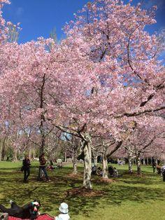 Cherry Blossom - One tree Hill, New Zealand