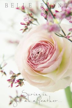 Ranunkulus, rose