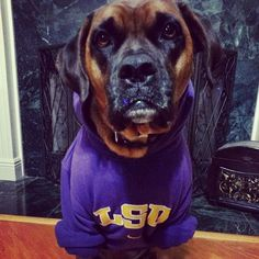When it gets cold, Bella likes to wear her LSU hoodie to keep her warm!