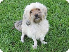 Irvine, CA - Yorkie, Yorkshire Terrier/Poodle (Miniature) Mix. Meet *MACY, a dog for adoption. http://www.adoptapet.com/pet/11561576-irvine-california-yorkie-yorkshire-terrier-mix