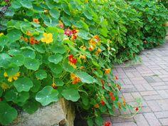 """Rotary Botanical Gardens - Hort Blog: Nasturtiums - A True """"Ornamental Edible"""""""