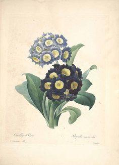 46876 Primula auricula L. / Redouté, P.J., Choix des plus belles fleurs et des plus beaux fruits, t. 83 (1833) [P.J. Redoute]