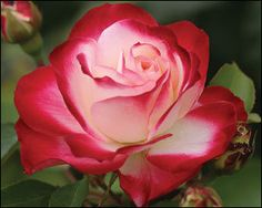 Grandiflora Cherry Parfait Rose   via Teresa Okarma @ 'a rose is a rose..'