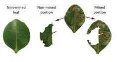 One major pest of mangrove forests in China is a leaf-mining insect which burrows into the upper layer of the leaf. Insect attack not only causes physical damage but also causes the accumulation of reactive oxygen species (highly reactive forms of oxygen that can damage enzymes and DNA) which can cause further damage to plant tissue. We might then expect that trees would increase their ability to neutralize reactive oxygen species when under insect attack.  Mangrove leaves before (non-mined…