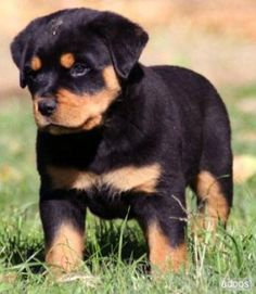 Rottweiler puppies are the cutest things on this planet. I dare you to say otherwise.