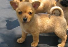 Pomeranian Chihuahua cross, puppy, puppies, cute dogs, small dogs