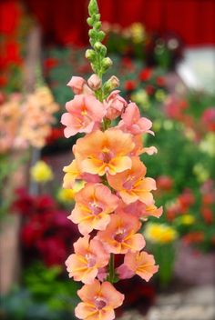 "A ""Butterfly"" or ""Open-Faced"" Snapdragon: Antirrhinum majus 'Trumpet Tangerine'"