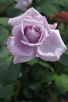 Rose Blue moom バラ ブルームーン   Rose Blue moom バラ ブルームーン Hybrid T…   Flickr