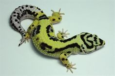 Leopard gecko Morphs... See all these different coloured beauties.