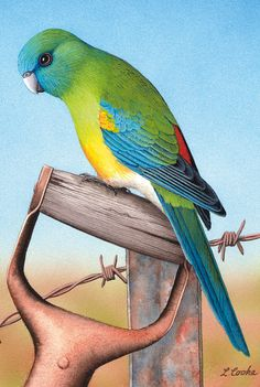 'Australian Red-Rumped Parrot', by Lyn Cooke Bird Drawings, Colorful Drawings, Animal Drawings, Australian Parrots, Watercolor Bird, Watercolor Ideas, Rose Oil Painting, Scratchboard Art, Wildlife Paintings