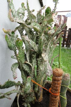 opuntia-monacantha-variegata_41661309813624.jpg (426×640)
