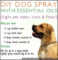 Oils For Animals DIY dog spray with essential oils to fight pet odor, ticks and fleas!DIY dog spray with essential oils to fight pet odor, ticks and fleas! Essential Oils Dogs, Essential Oil Blends, Essential Oil Bug Spray, Stinky Dog, Dog Smells, Homemade Deodorant, Homemade Dog Shampoo, Homemade Bug Spray, Homemade Dog Food