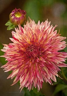 Dahlia 'Colwood Sherri' by annabelleny on Flickr