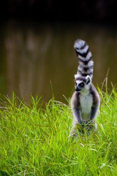 Lémurien (lemur catta), Parc Botanique et Zoologique de Tsimbazaza, Antananarivo, Madagascar