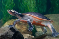 Red Bellied Short-Necked Turtle - Emydura subglobosa