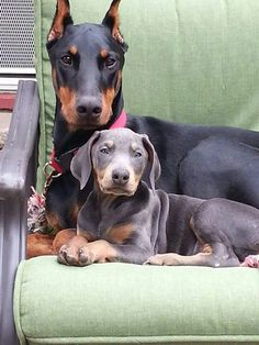 We have two black&tan. Our little red one passed away. So we got a blue one just like this one. LOVE MY DOBERMAN