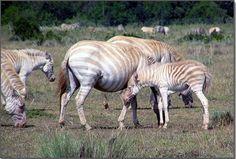 Golden Zebra Hawaii | Born in Hawaii, Zoe is the only known captive golden zebra in ...