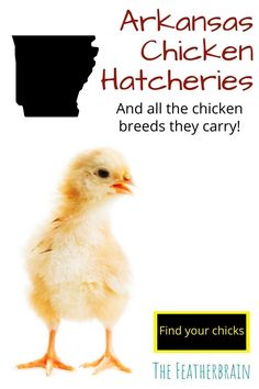 Find chicken hatcheries near you in the state of Arkansas, and learn which breeds they carry. Whether you want rare, friendly heritage breeds, the best egg layers, or beautiful giant breeds, you'll learn where to find them here. Types Of Chickens, Raising Chickens, Chicken Breeds, Backyard Chickens, Chicken Eggs, Arkansas, Layers, Pictures, Animals