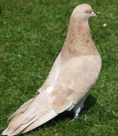 Iranian pigeon ♠ high flyer